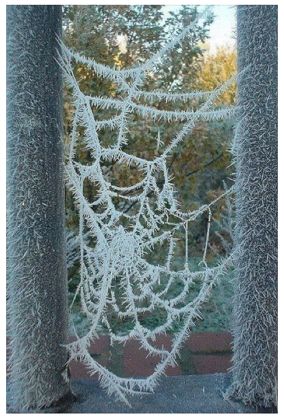 Spider Web With Frost