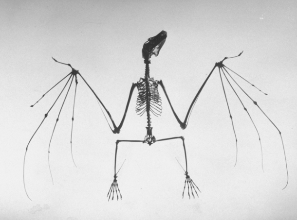 Andreas Feininger - Bat Skeleton